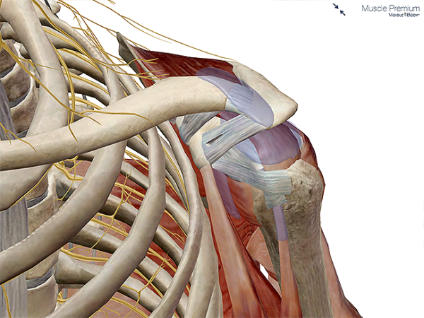 Muscle bursae shoulder joint subacromial bursa synovial resized 600