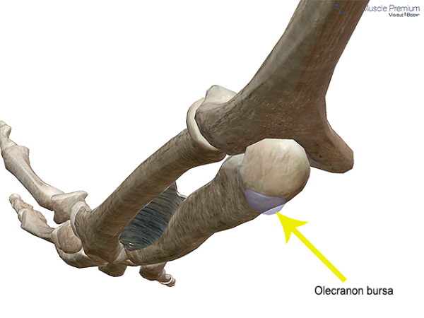 Muscle olecranon subcutaneous bursa elbow joint resized 600