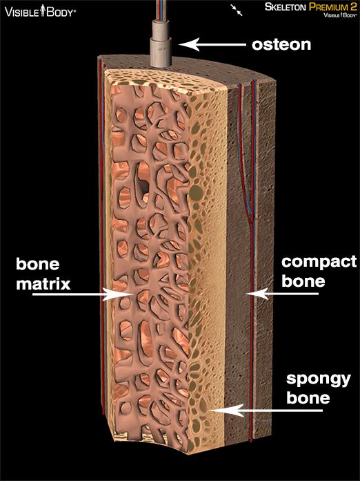 osteon compact bone cortical bone cancellous bone spongy bone bone matrix