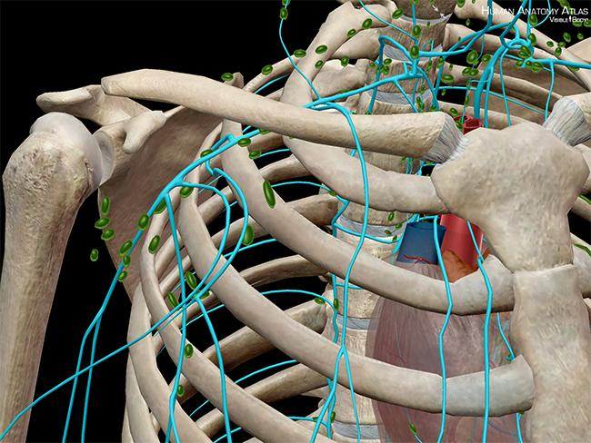 Lymphatic-vessels-immune-system-anatomy