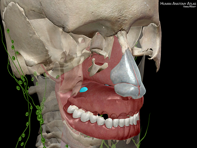 Lymphatic-system-palatine-tonsils-lymphoid-follicles