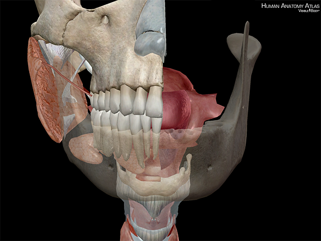 Oral-Cavity-Cross-Section-Oropharynx-Tongue-Hard-Palate