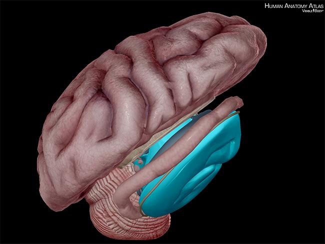 Brain-midbrain-mesencephalon-pons-corpora-quadrigemina-cerebral-peduncles