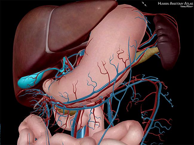 Accessory-Organs-Gallbladder-Liver-Spleen-Pancreas