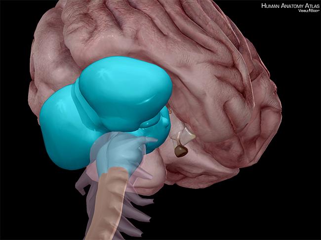 Brain-Hindbrain-cerebellum-metencephalon-central-nervous-system