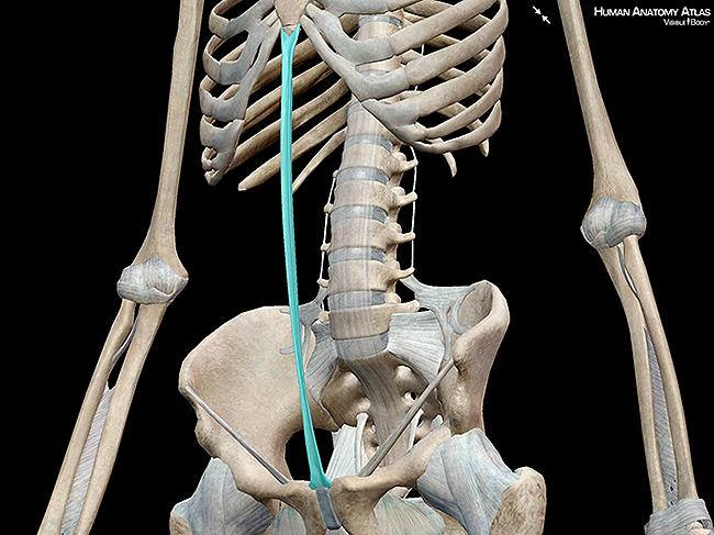 Linea alba abdomen ligament skeleton
