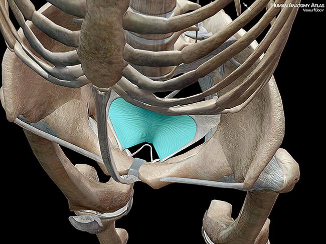 Pubocervical fascia pelvis uterus bladder skeleton ligaments