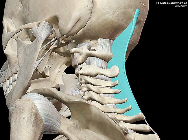 Nuchal ligament skull vertebrae skeleton bones