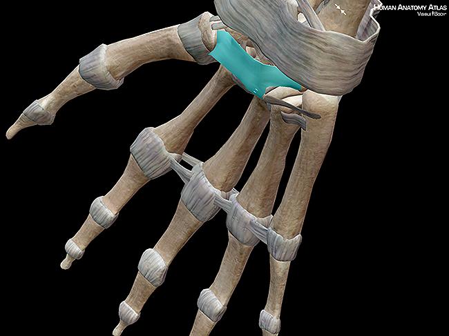 Flexor retinaculum ligament wrist carpals bones