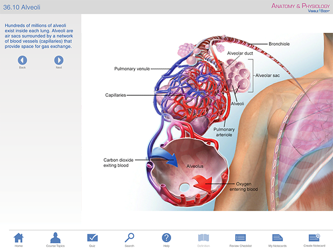 respiratory a&p bronchi lungs bronchioles respiratory tree alveoli gas exchange