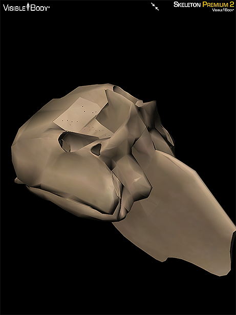 Ethmoid bone skull axial skeleton