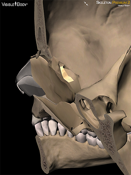 Ethmoid sagittal cross skull axial