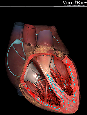 Conduction System Of The Heart Model The conduction system is a