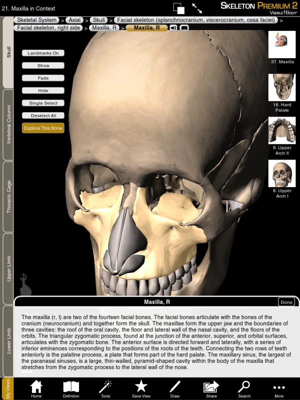 Maxilla maxillae facial skeleton