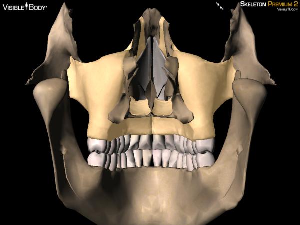 posterior maxilla maxillae
