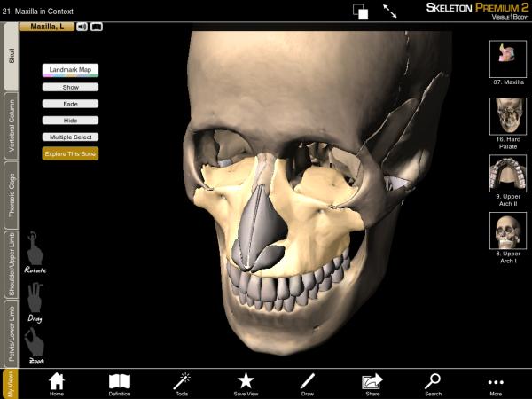 Maxillae Bones Skull resized 600