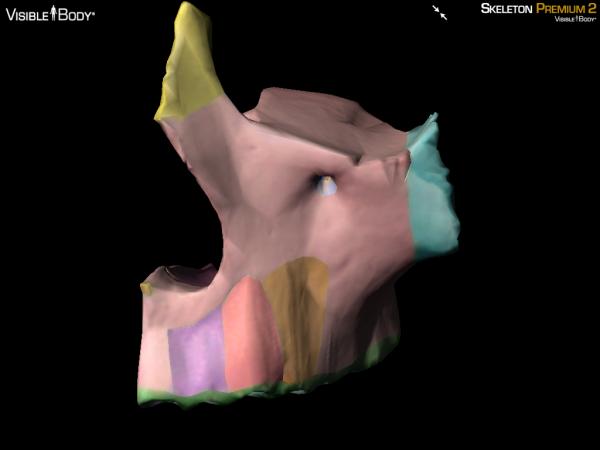 Maxilla maxillae anterior 3d bone