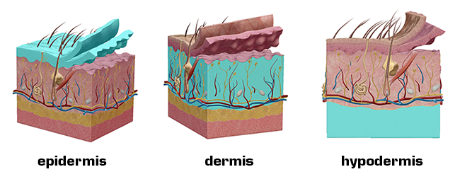Integumentary epidermis dermis hypodermis skin keratinocytes melanocytes