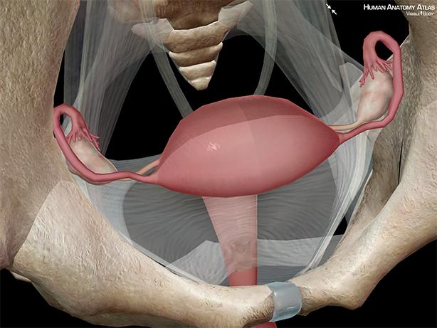 Uterus uterine anatomy ovaries fallopian tubes fimbriae