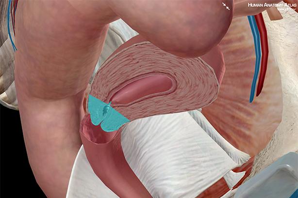 Cervix uterine internal vagina