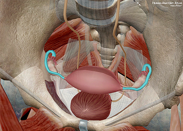 Fallopian tube fimbriae ovaries ovum uterus