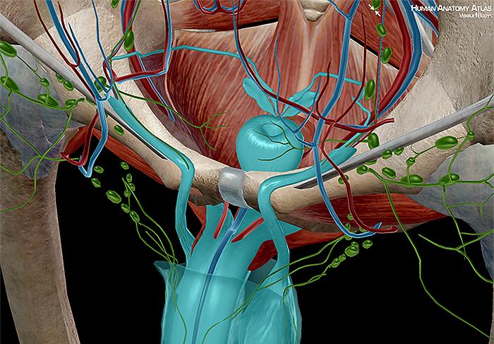 Testis vas deferens epididymis spermatic seminal vesicle