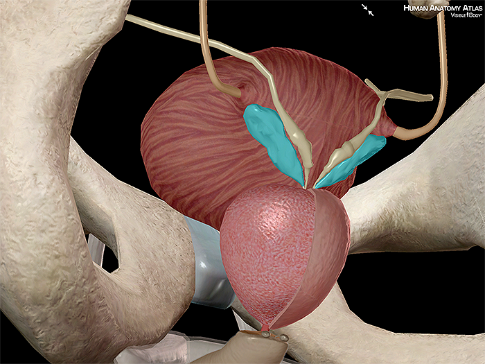 Seminal vesicle spermatic prostate vas deferens