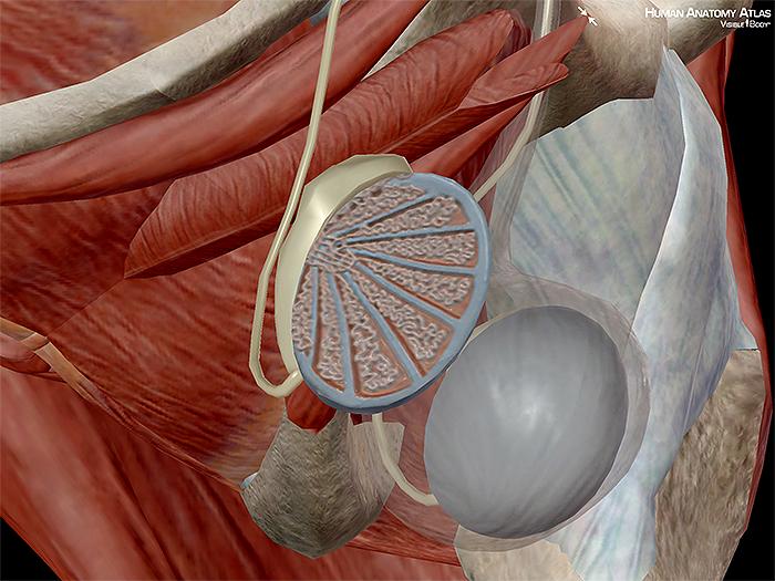 Testis testes gonads male gametes endocrine