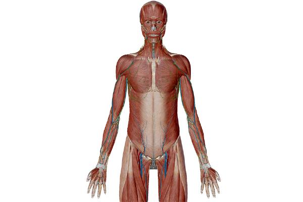 Anatomy anatomical position