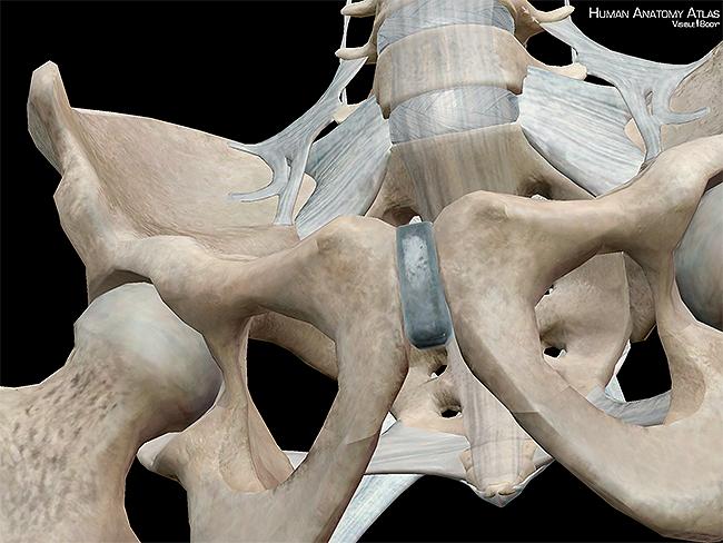 Os coxae hipbones ilia ischium pubis pelvic girdle