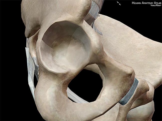 Acetabulum hip socket hipbones os coxae