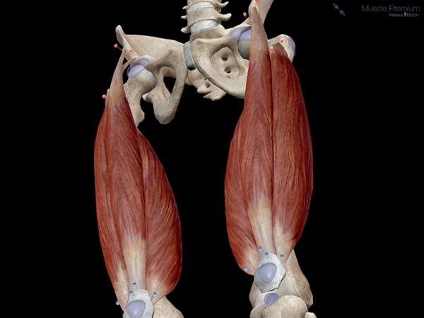 Knee joint muscle group quadriceps femoris resized 600