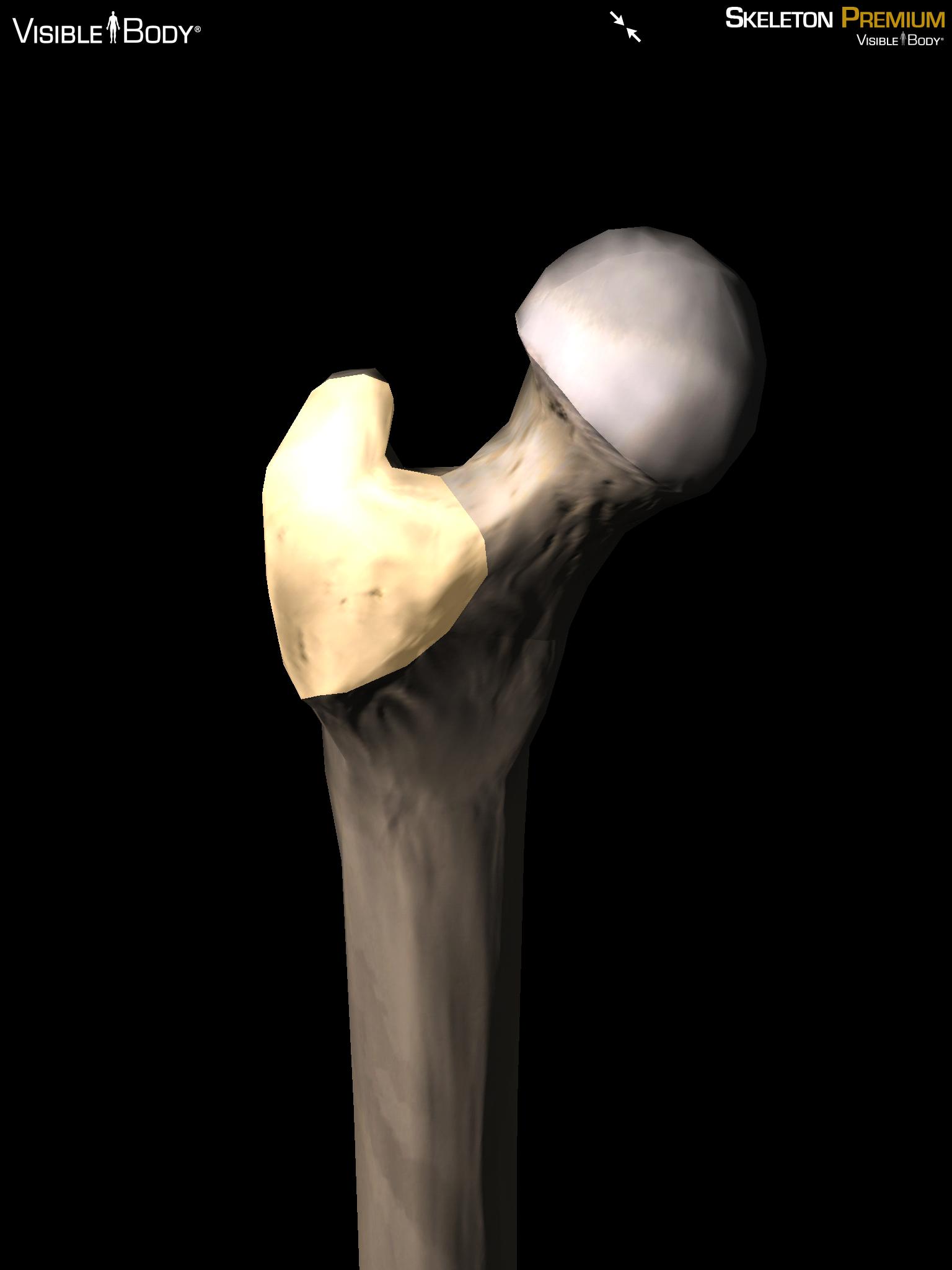 Trochanter femur long bone gluteal muscles