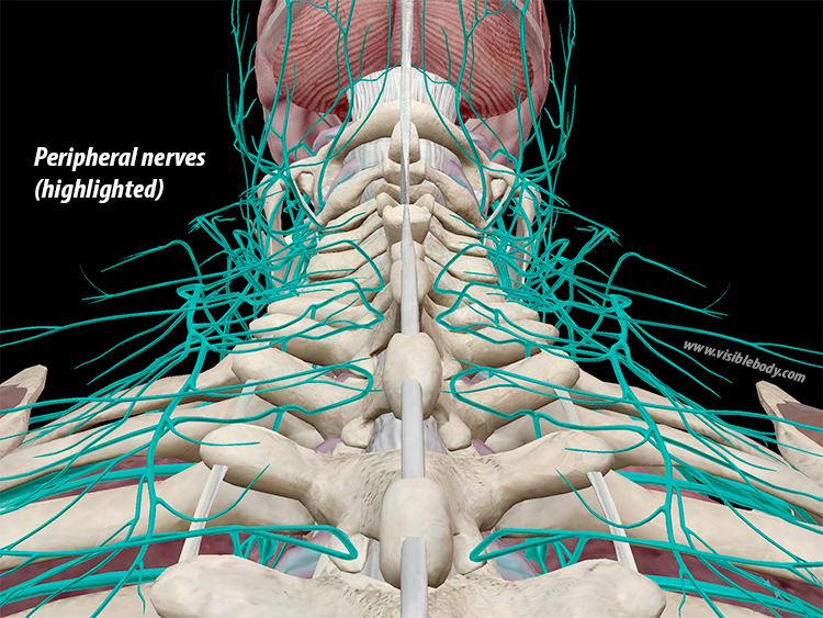 Peripheral-Nerves-PNS.png