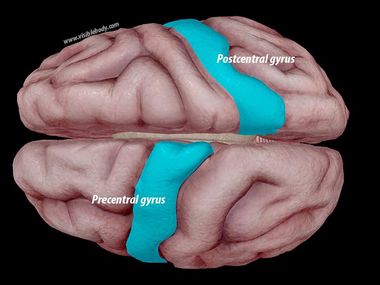 Precentral-postcentral-gyrus-brain-cerebrum.png