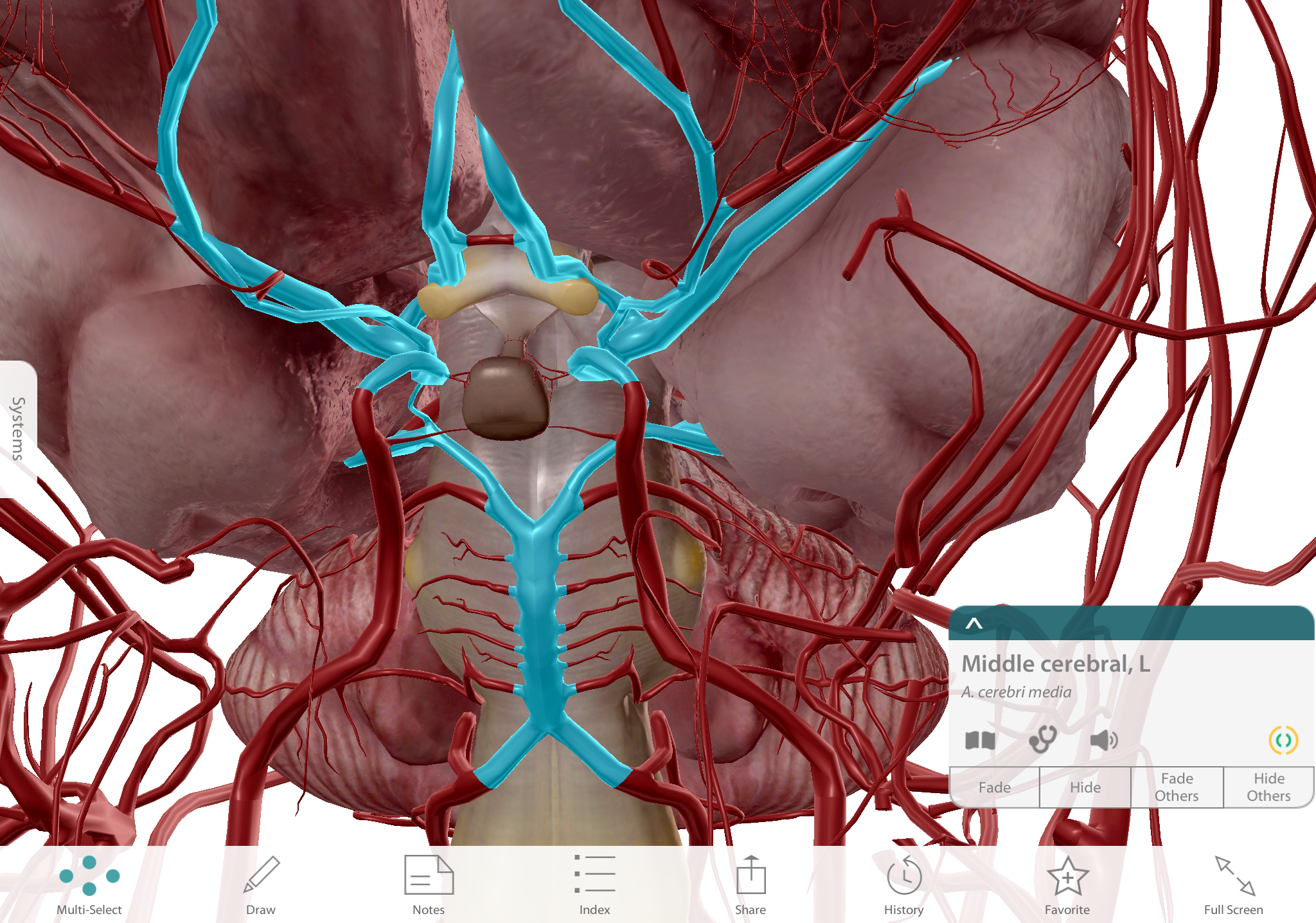 The Circle of Willis in context, with other cerebral vasculature