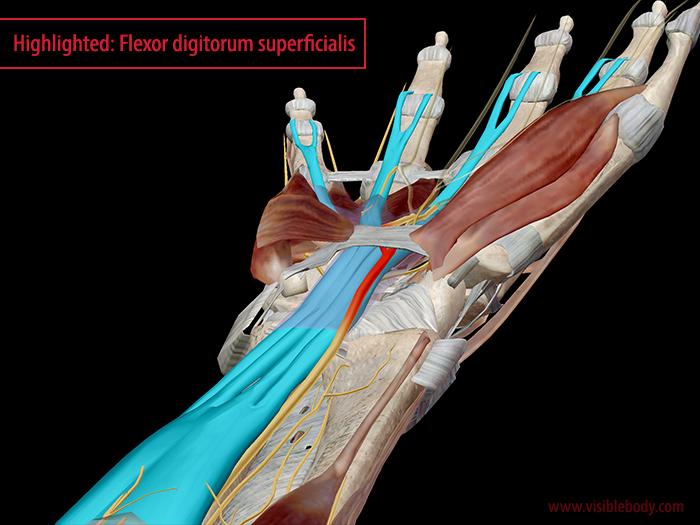 Flexor-digitorum-superficialis-carpal-tunnel-median-nerve.png