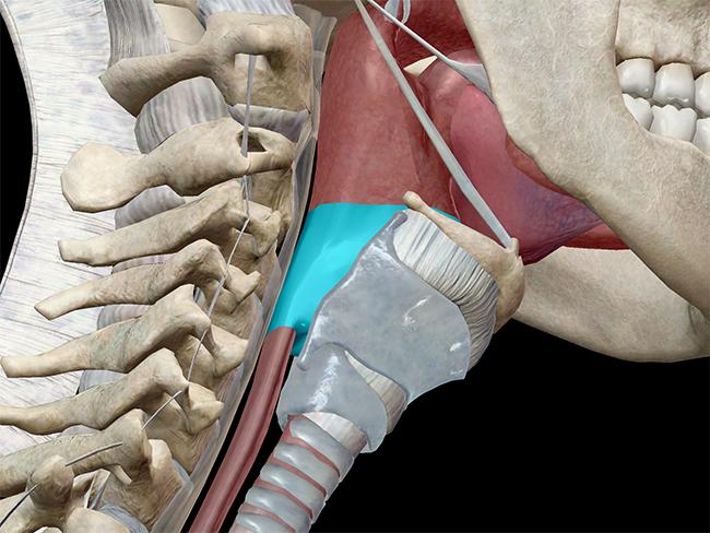 Laryngopharynx in context
