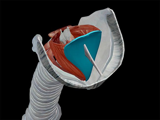 Larynx-superior-larynx-laryngeal.png