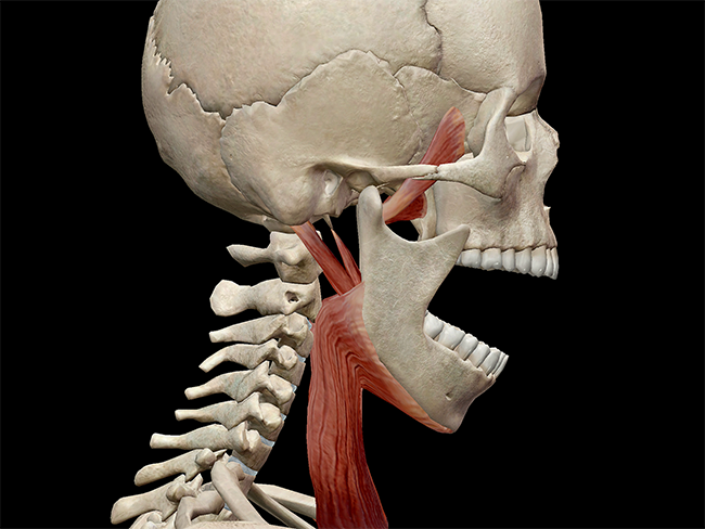 The TMJ, in mandibular depression