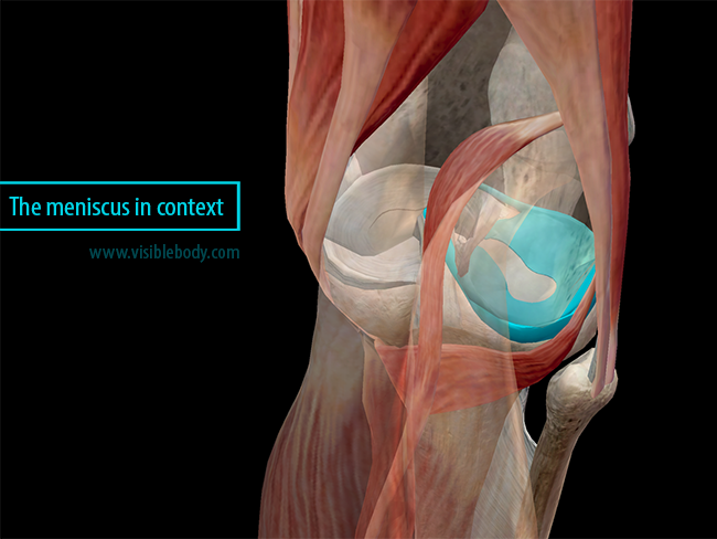 Meniscus in context