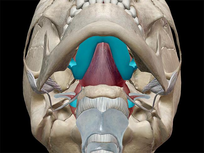 The oral cavity, oropharynx, nasopharynx, and laryngopharynx