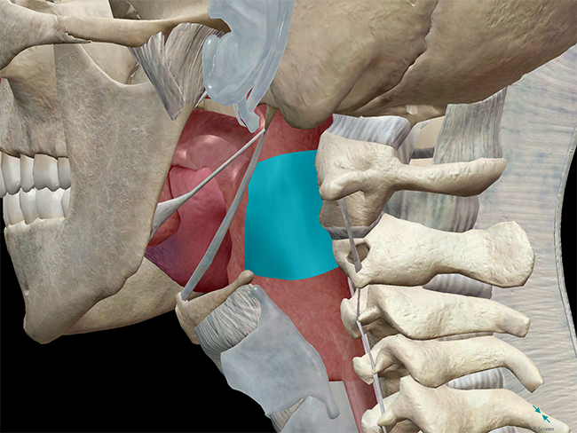Oropharynx in context