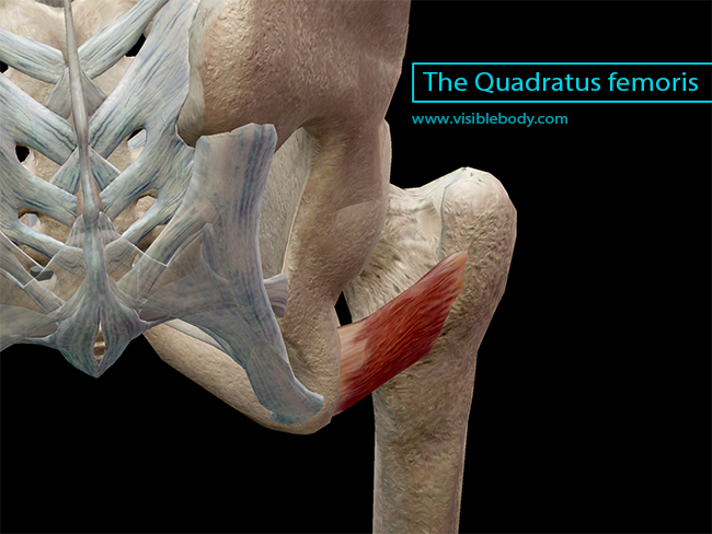 Learn Muscle Anatomy: Lateral Rotators