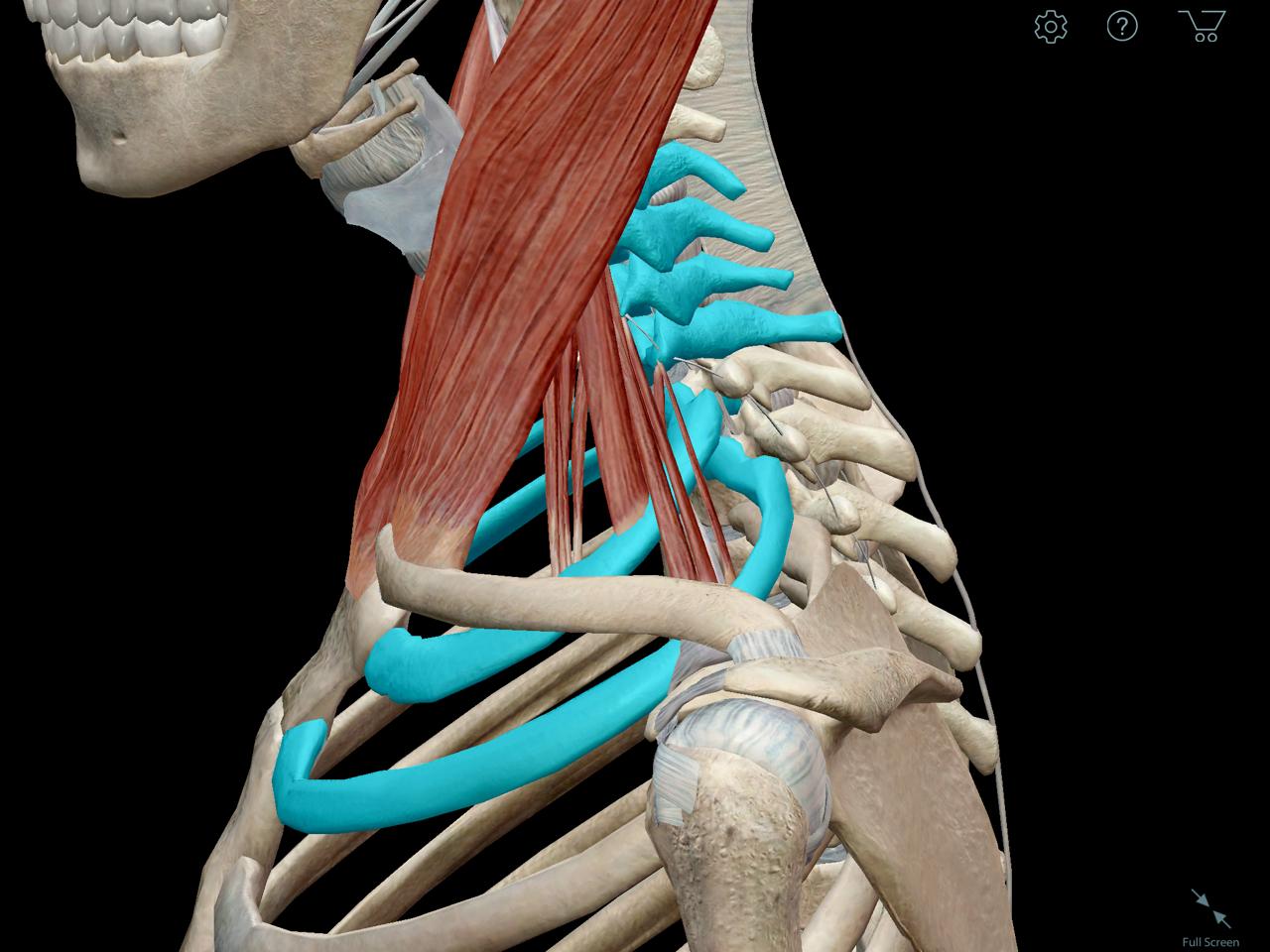 Scalene muscles anatomy