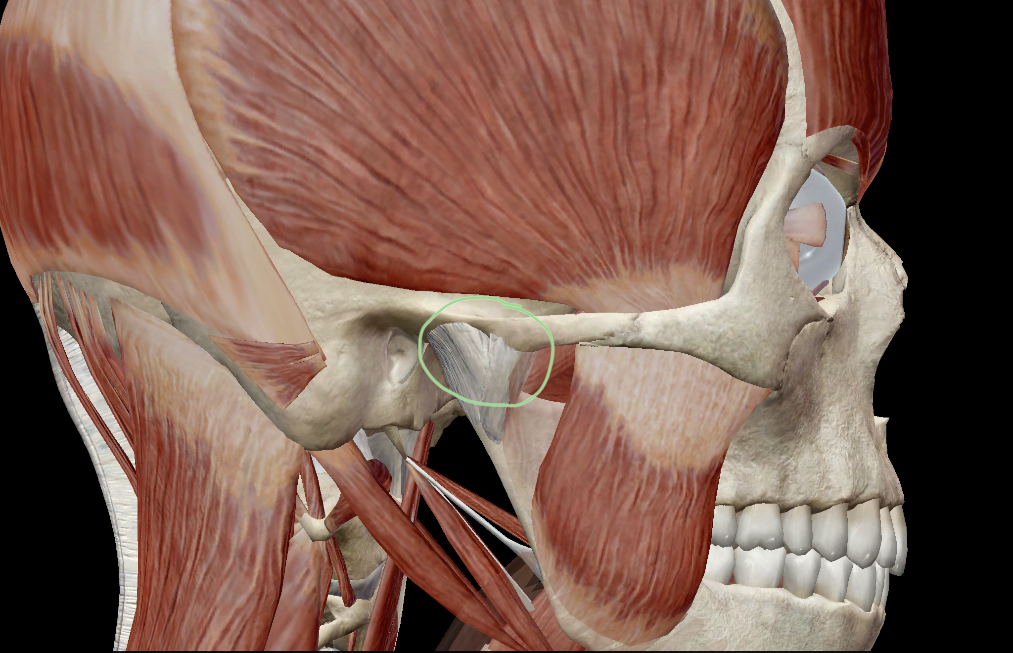 The temporomandibular joint, circled