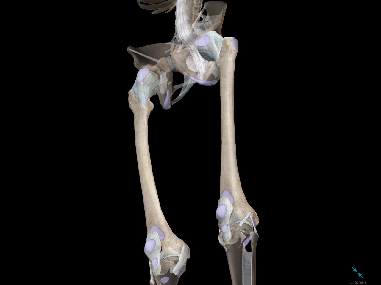 femur-leg-bone.png