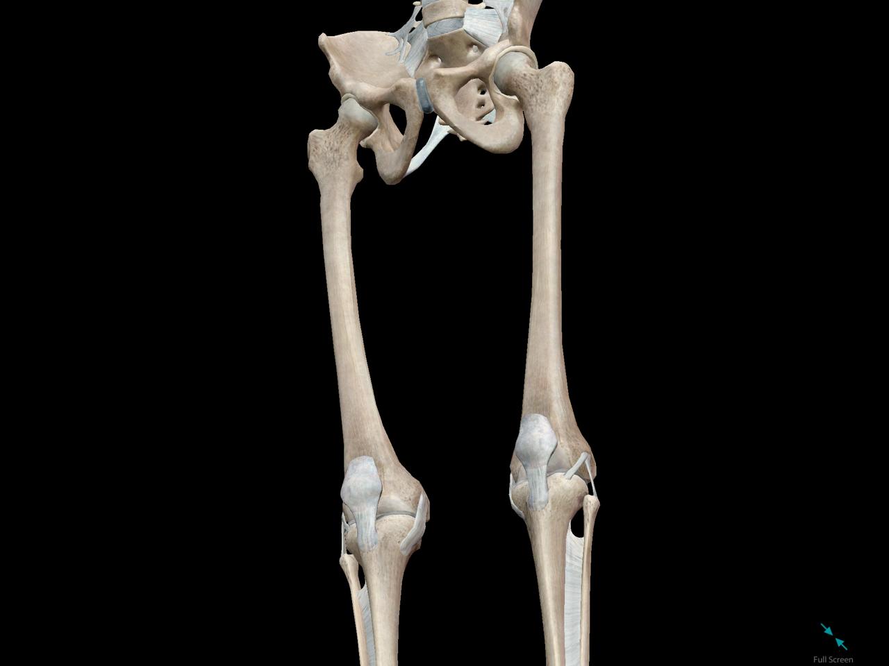 femur-long-bone-compact-osteon-marrow.png