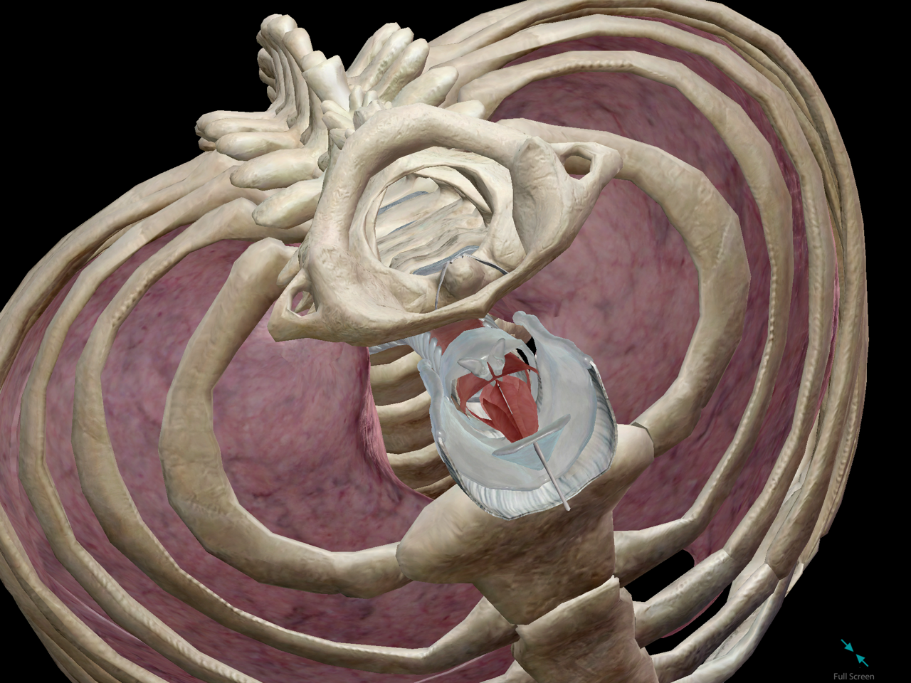 laryngeal-sksleton-lungs-respiratory.png