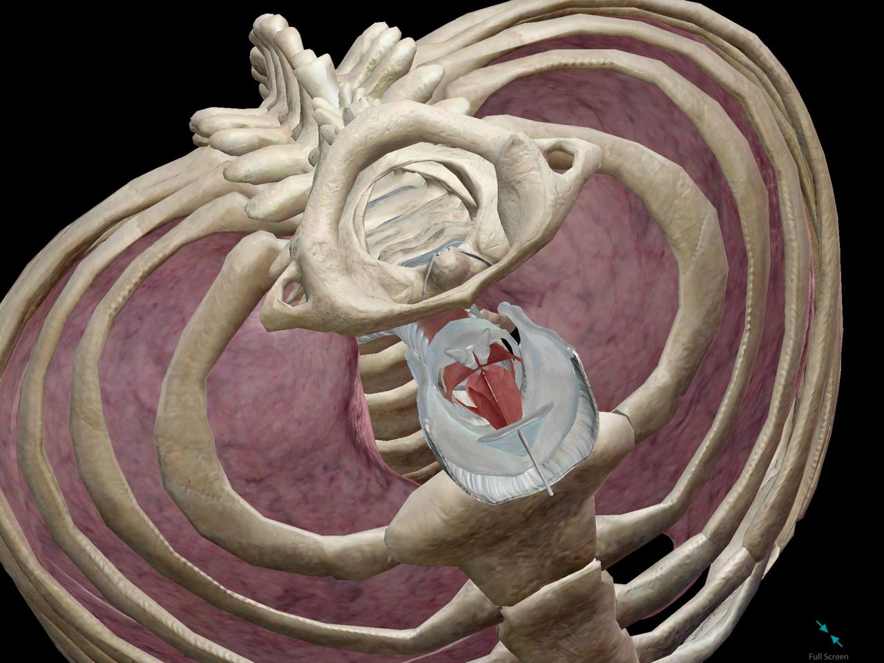 laryngeal-sksleton-lungs-respiratory.png